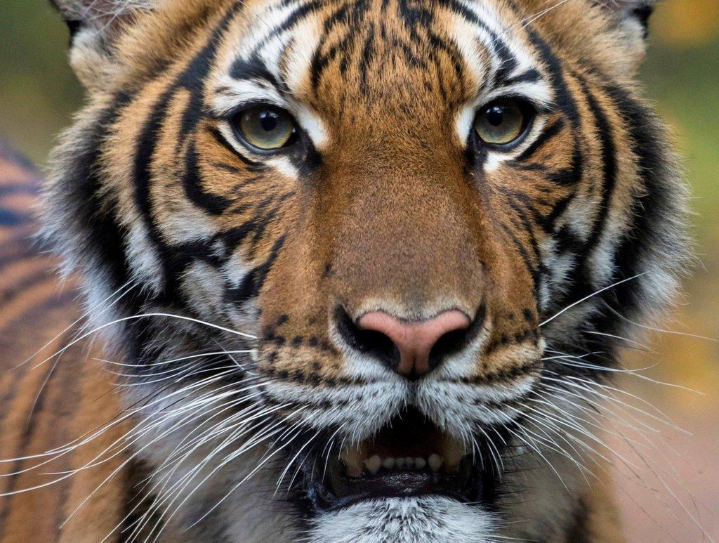 寵物防疫 - 老虎確診